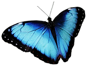 bluebutterfly300png.png