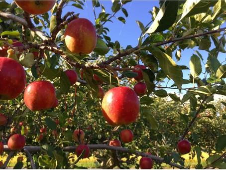 自家栽培のリンゴを使った加工品を!