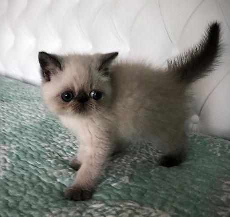 exotic kitten for sale_edited.jpg