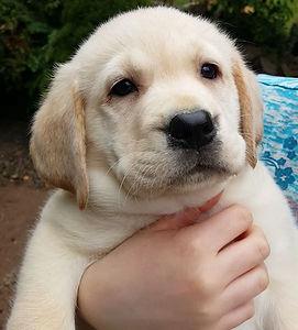 cream labrador Puppy