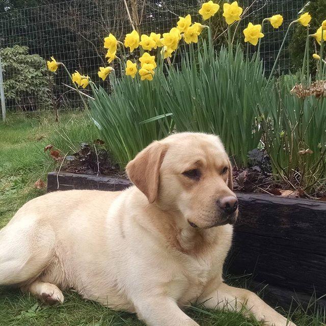 English labrador retriever- Prince