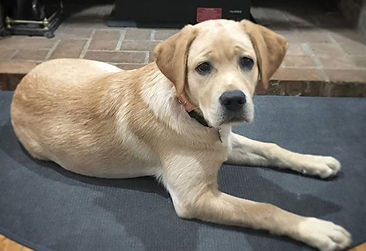 #pdx lab puppy