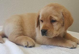 Gold Labrador Puppy