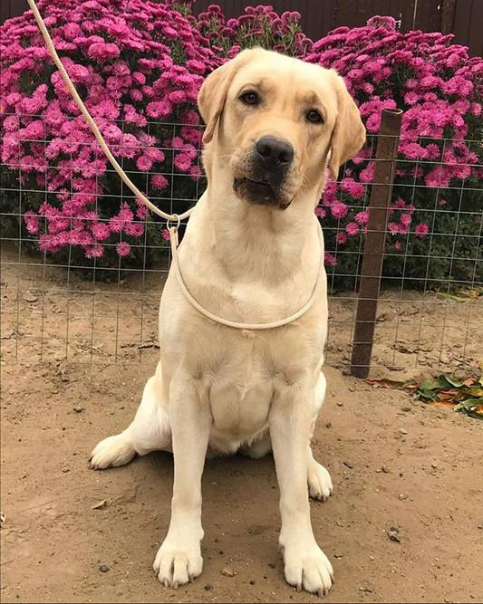 Gloria, English Labrador Retriever