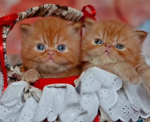 exotic shorthair kitten, persian kitten Carolina