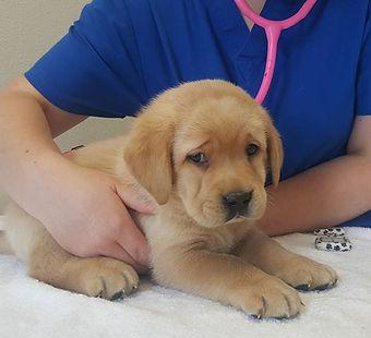 Sad Gold Labrador Puppy