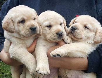 cream lab puppy