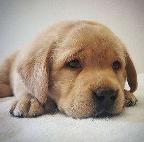 Sad Gold Labrador Retriever