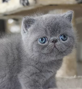 Exotic Shorthair & Longhair kittens | Portland Oregon