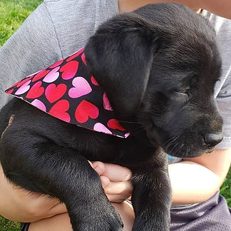 labrador puppy and bandana for sale