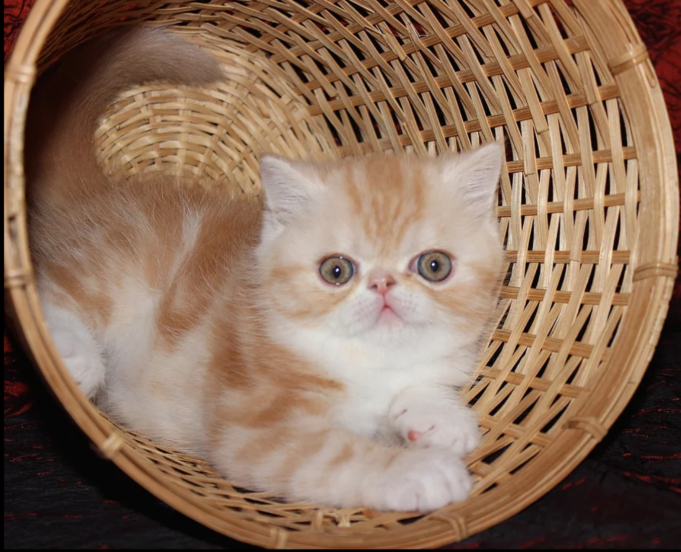 Exotic Shorthair & Longhair kittens | Portland Oregon