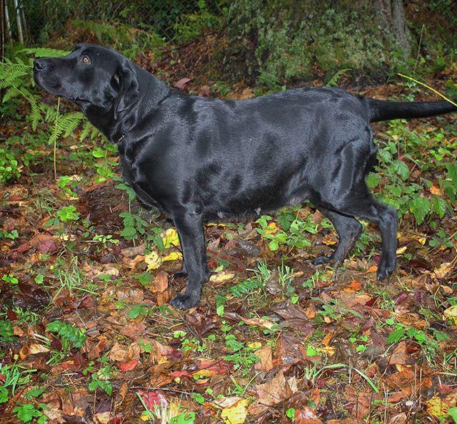 Daisy, Labrador Retriever