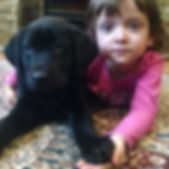 black labrador retriever for sale