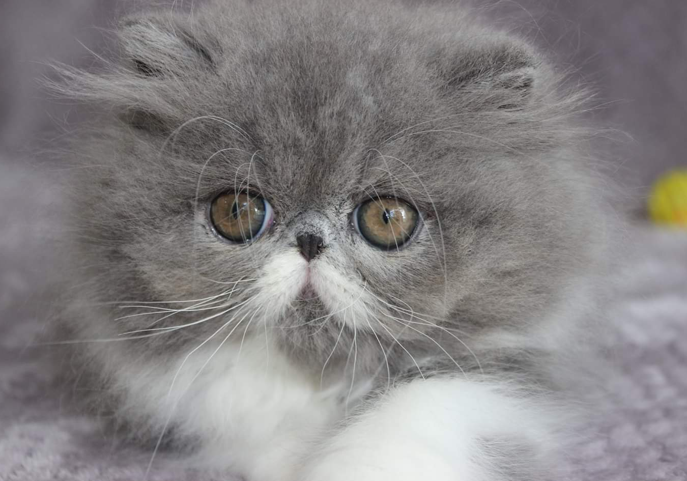 Persian and Exotic Kittens | Vancouver WA | Catsparadise