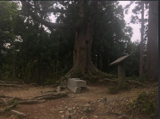 Gyokutai Cedar (玉体杉)