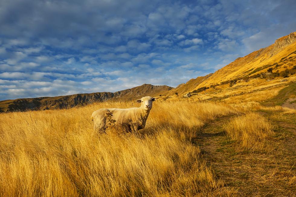 sheep-.png