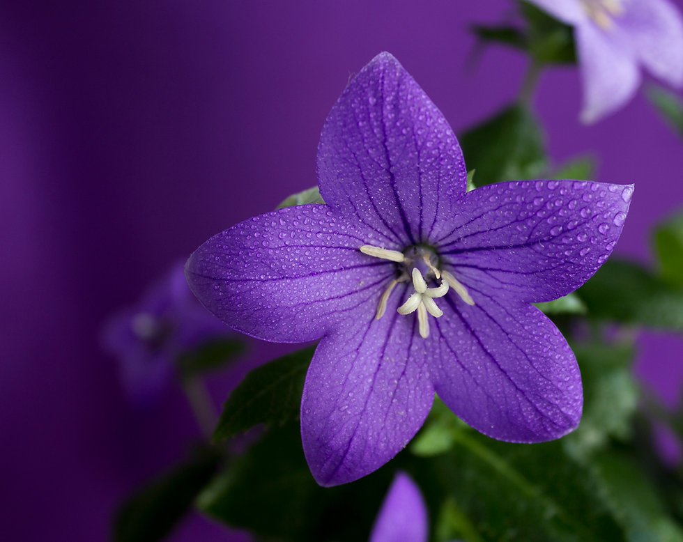 beautiful blue flowers Platycodon, Pink-
