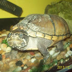 Gertrude, our musk turtle at Saplings Nursery, Henham