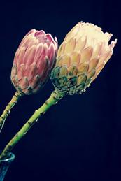 Protea Flowers by Derrick BradfieldDSC_8