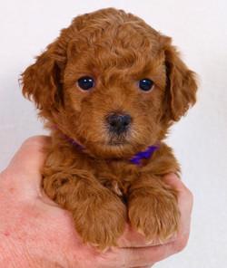 Ginger - Purple Collar Girl