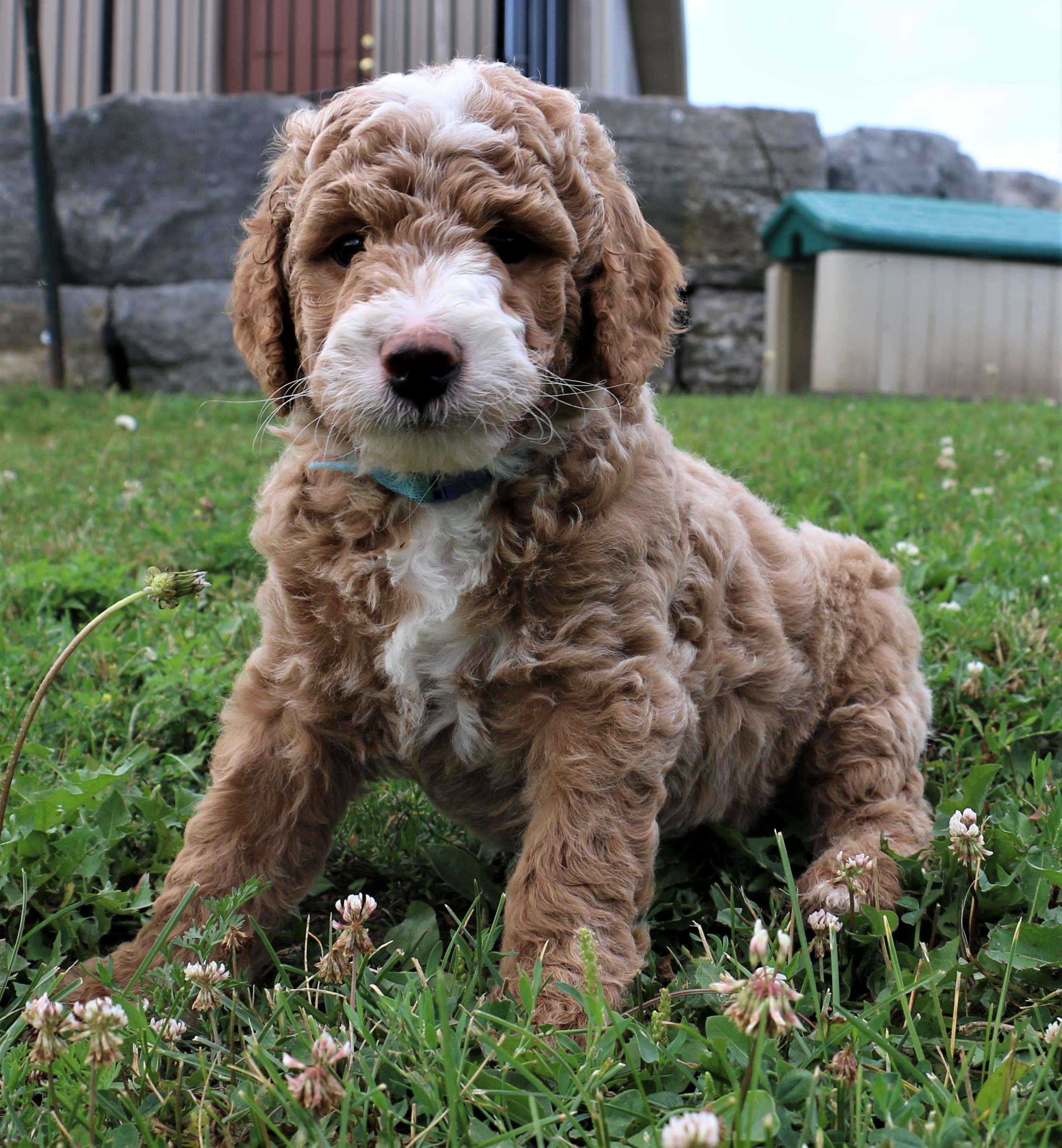 Available Puppies   Goldendoodle   Niagara, ON, Canada