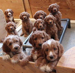Sit and Stay puppies
