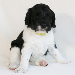 Puffin at 6 Weeks