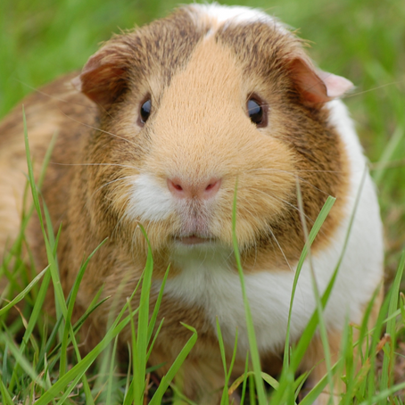 The Ultimate Guinea Pig Food List: What Is Safe