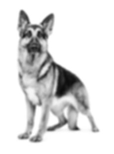 GERMAN_SHEPARD_RUMOR_1029_BW_Outlined.jp