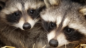 Raccoons are very curious and intelligent animals