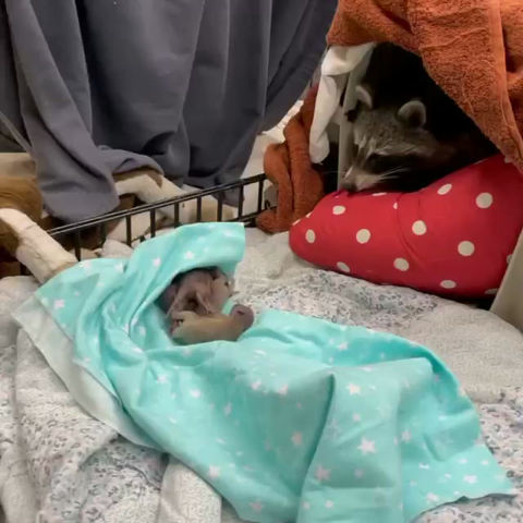 Mom Raccoon Adopts Litter