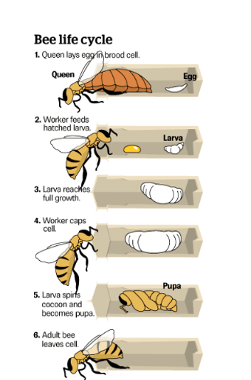 bee life cycle cropped.png