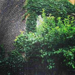 Chicago Ivy