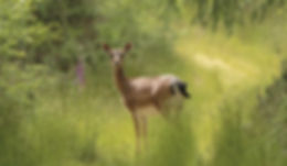 Deer Bere Forest Scotts Haven