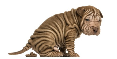 Copy of sharpei.jpg