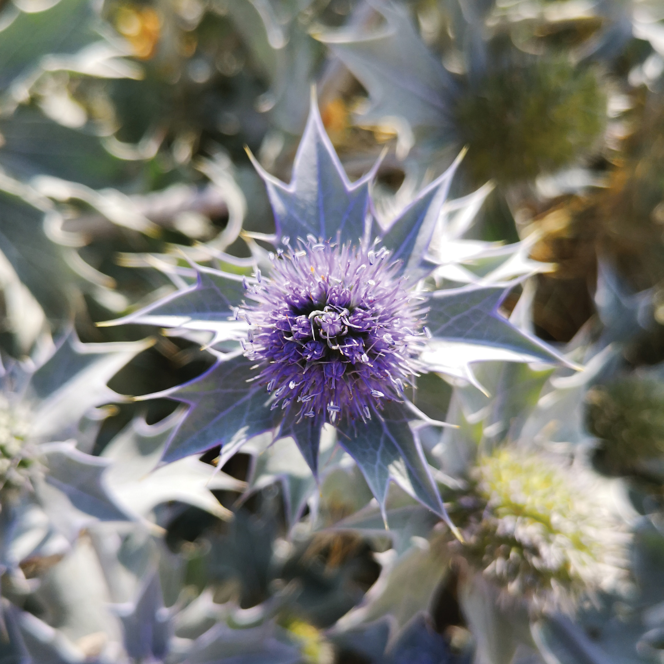 SEA HOLLY (eryngium maritimum)