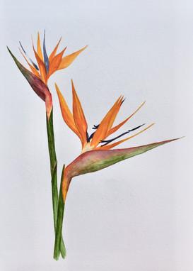 Strelitzia (sold)