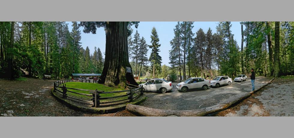 Chandlier Tree, Legget, CA