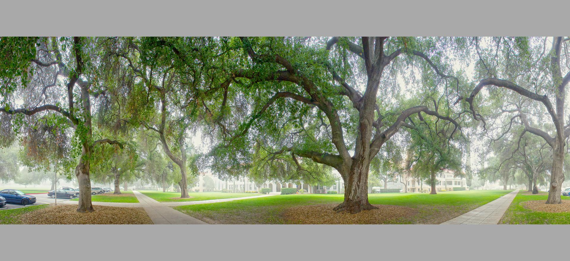 Oak Trees in Fog, U of R, Redlands