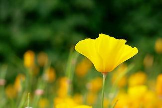 California poppy, Eschscholzia californi