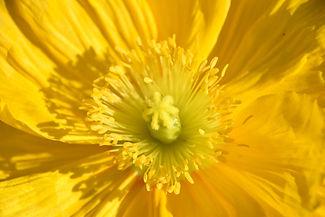 Yellow poppy macro , Arctomecon merriami