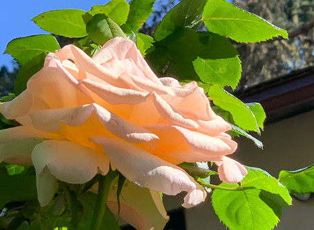 Marian's Did You Know…that the Mimi Fariña roses are blooming?