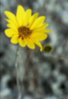 A yellow flower with a grey background