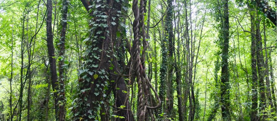 Sığla- the Tree with Scars that Heal