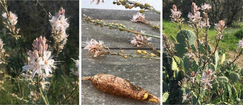 Wild Flowers: Asphodel