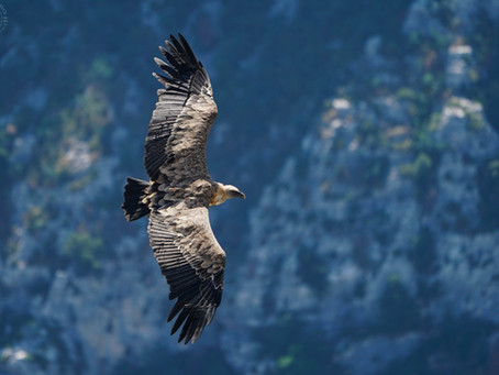 Photographing Vultures!