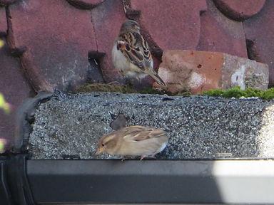 House sparrow Cambridge grove road (14).