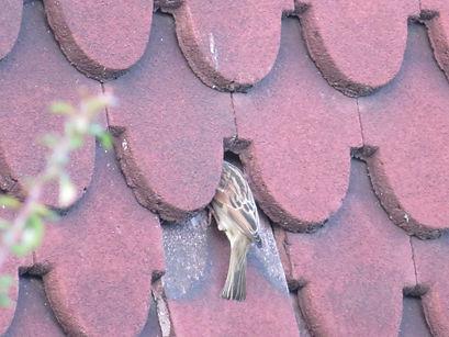 House sparrow nest hole (5).JPG