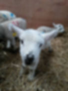 Lambs face.jpg