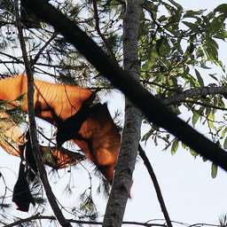 MACLEAY ISLAND RESIDENTS AND THEIR PESKY FLYING FOX NEIGHBOURS!